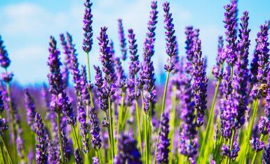 calm, lavender